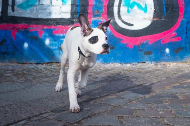 Breezethebulldog 2